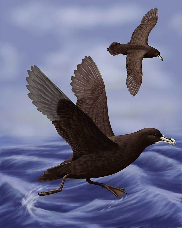 White-chinned Petrel_CEPortrait_1200