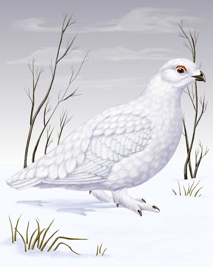 White-tailed Ptarmigan_CEPortrait_1200