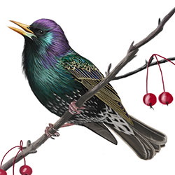 European Starling Body Illustration