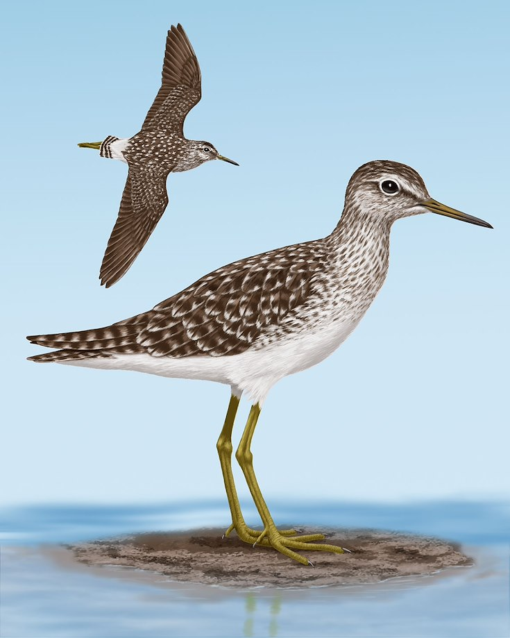 Wood Sandpiper_CEPortrait_1200