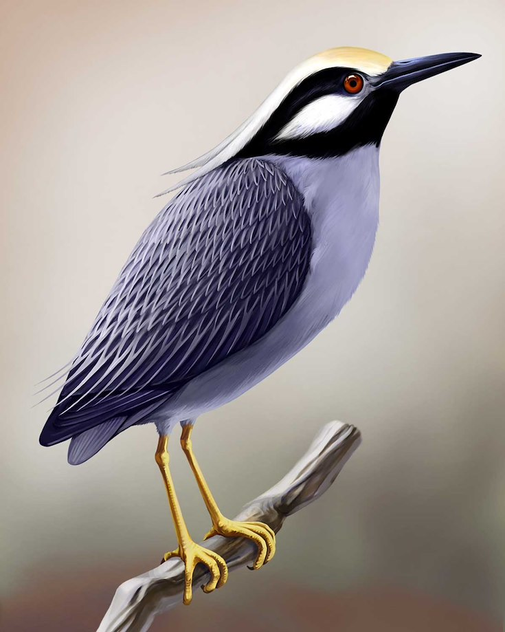 Yellow-crowned Night-Heron_CEPortrait_1200