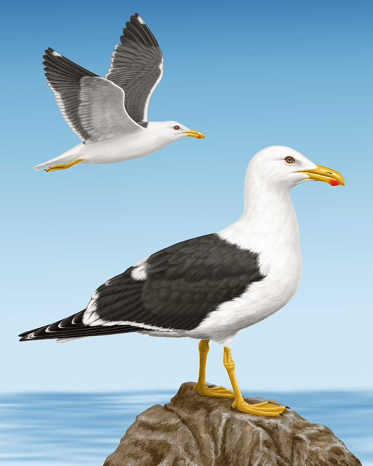 Yellow-footed Gull_CEPortrait_1200