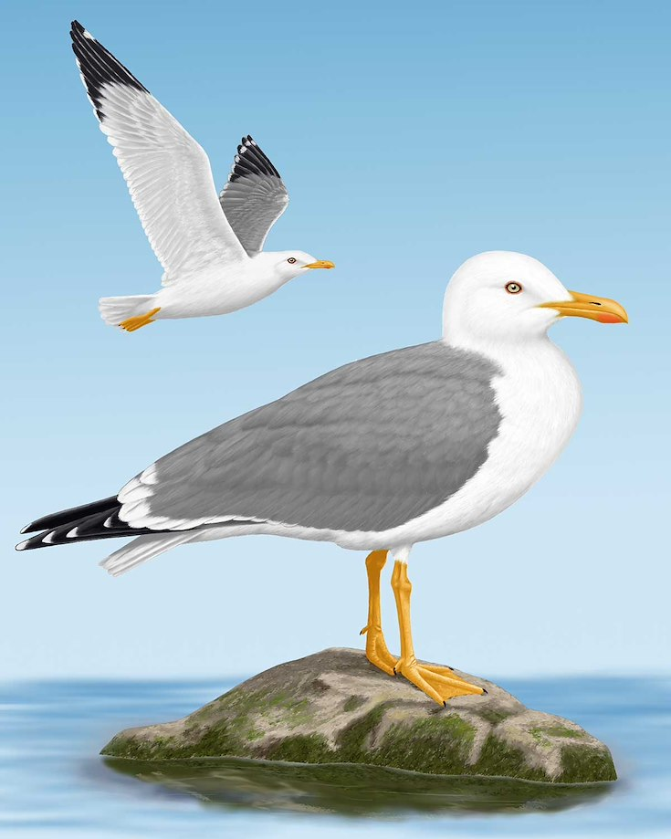 Yellow-legged Gull_CEPortrait_1200