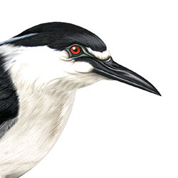 Black-crowned Night-Heron Head Illustration