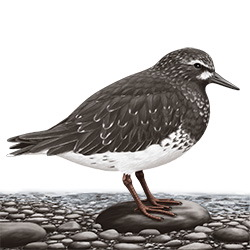 Black Turnstone Body Illustration
