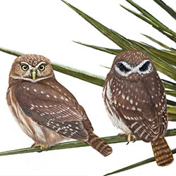Ferruginous Pygmy-Owl Body Illustration.jpg