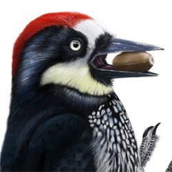 Acorn Woodpecker Head Illustration