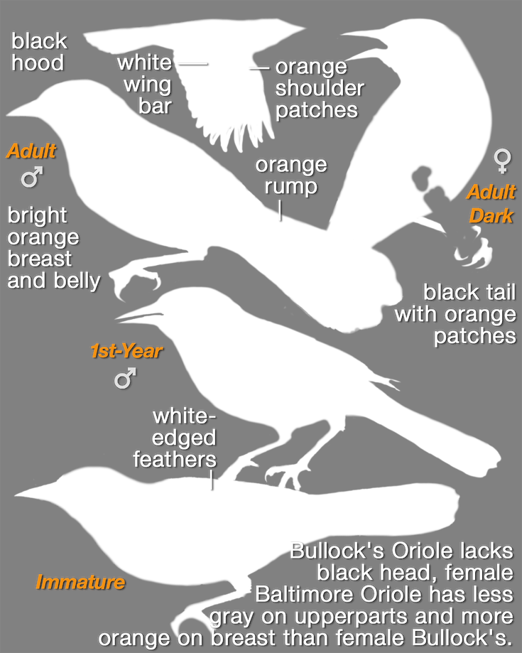 Baltimore Oriole_mask