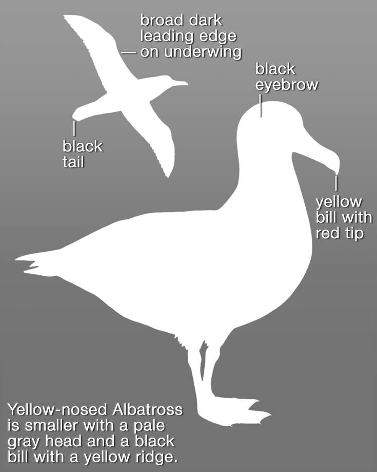 Black-browed Albatross_mask