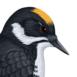 Black-backed Woodpecker Head Illustration