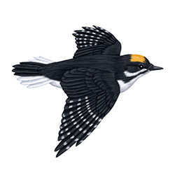 Black-backed Woodpecker Flight Illustration