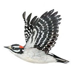Downy Woodpecker Flight Illustration.jpg