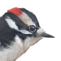 Downy Woodpecker Head Illustration.jpg