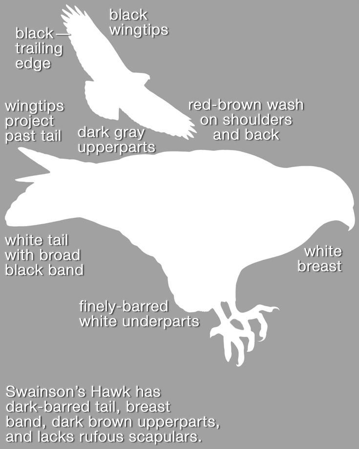 White-tailed Hawk_mask