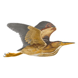 Least Bittern Flight Illustration