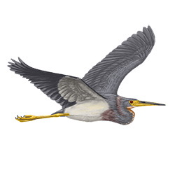 Tricolored Heron Flight Illustration