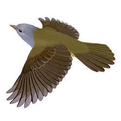 Connecticut Warbler Flight Illustration