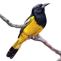 Scott's Oriole Body Illustration