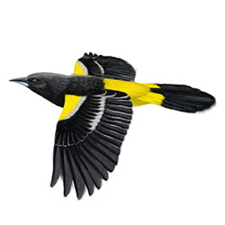 Scott's Oriole Flight Illustration