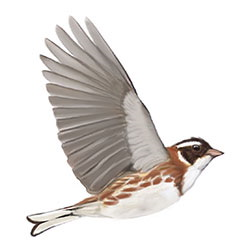 Rustic Bunting Flight Illustration