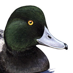 Greater Scaup Head Illustration