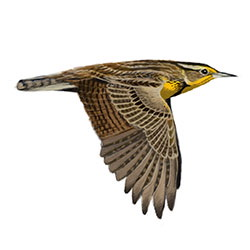 Western Meadowlark Flight Illustration