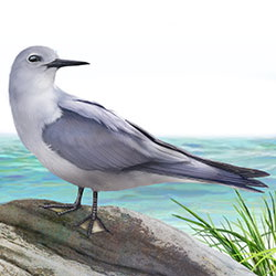 Blue-gray Noddy Body Illustration