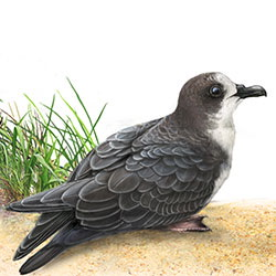 Bonin Petrel Body Illustration