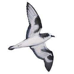 Bonin Petrel Flight Illustration