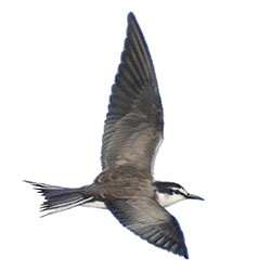 Gray-backed Tern Flight Illustration