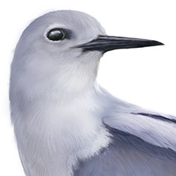 Blue-gray Noddy Head Illustration