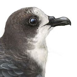 Bonin Petrel Head Illustration