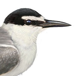 Gray-backed Tern Head Illustration