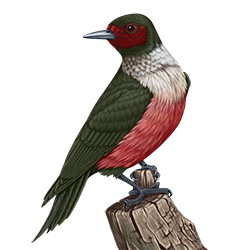 Lewis's Woodpecker Body Illustration