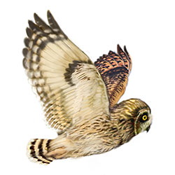Hawaiian Owl Flight Illustration