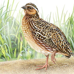 Japanese Quail Body Illustration