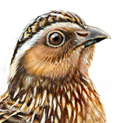 Japanese Quail Head Illustration