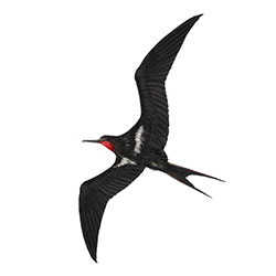 Lesser Frigatebird Flight Illustration