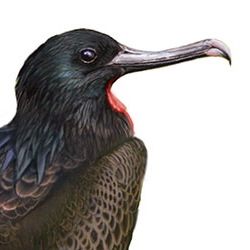 Lesser Frigatebird Head Illustration
