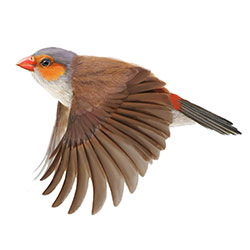 Orange-cheeked Waxbill Flight Illustration