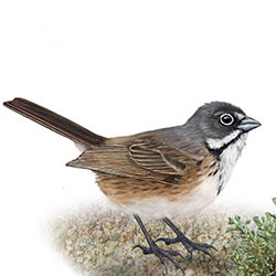 Bell's Sparrow Body Illustration