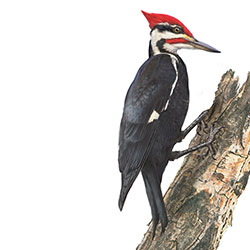 Pileated Woodpecker Body Illustration