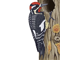 Red-naped Sapsucker Body Illustration