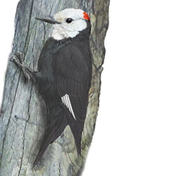 White-headed Woodpecker Body Illustration.jpg