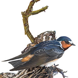 Cliff Swallow Body Illustration