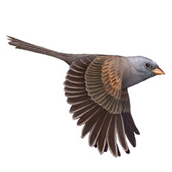 Black-chinned Sparrow Flight Illustration