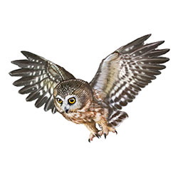 Northern Saw-whet Owl Flight Illustration