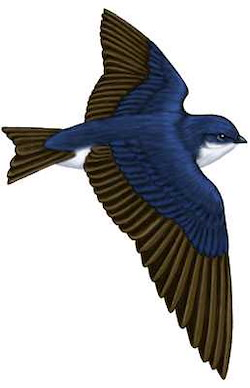 Tree Swallow Flight Illustration
