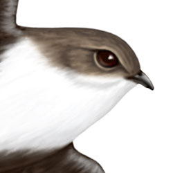 White-throated Swift Head Illustration