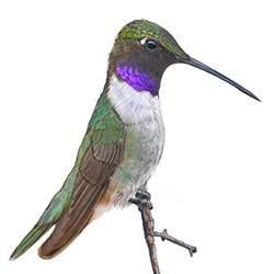Black-chinned Hummingbird Body Illustration.jpg